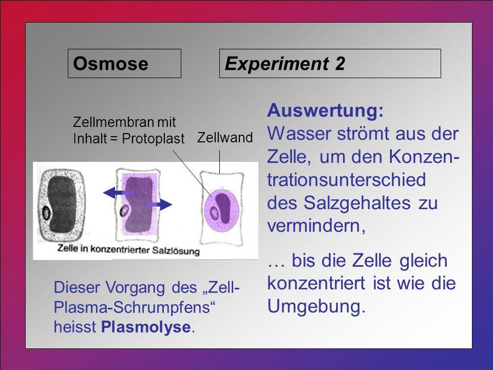 Osmose Zellwand Zellmembran mit Inhalt = Protoplast Experiment 2 Auswertung: Wasser strömt aus der Zelle, um den Konzen- trationsunterschied des Salzgehaltes zu vermindern, … bis die Zelle gleich konzentriert ist wie die Umgebung.