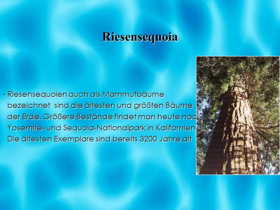 Riesensequoia - Riesensequoien auch als Mammutbäume bezeichnet sind die ältesten und größten Bäume der Erde. Größere Bestände findet man heute noch im