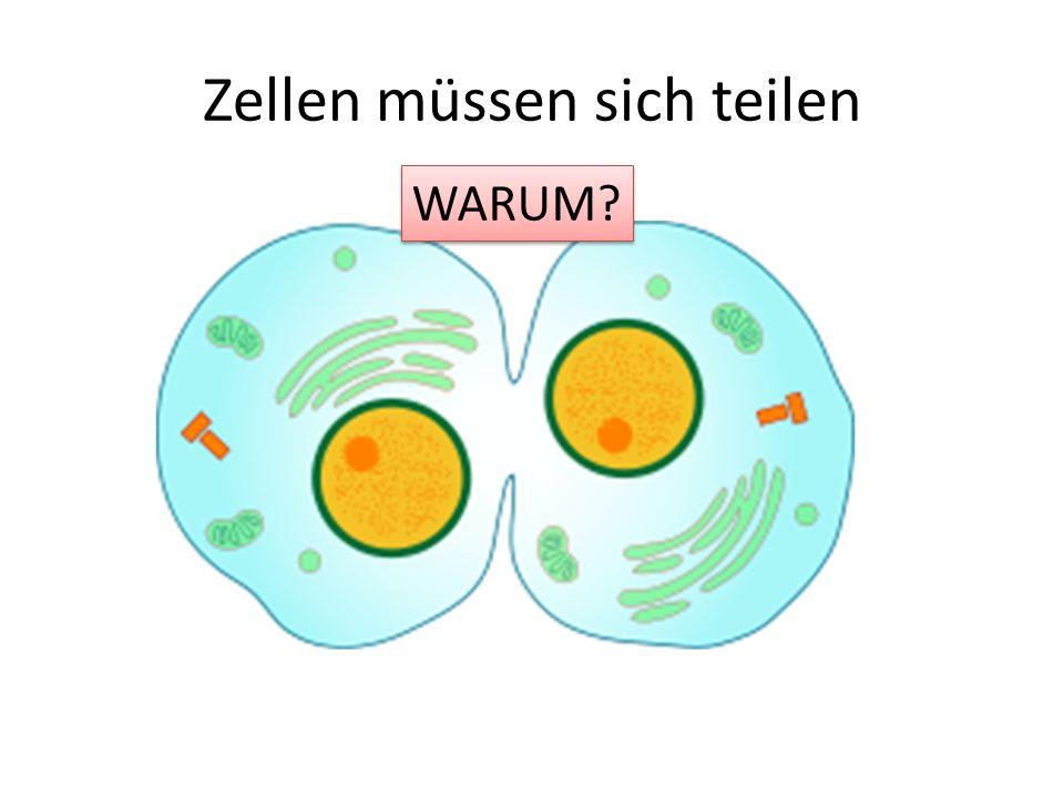Zellen müssen sich teilen WARUM? WARUM?