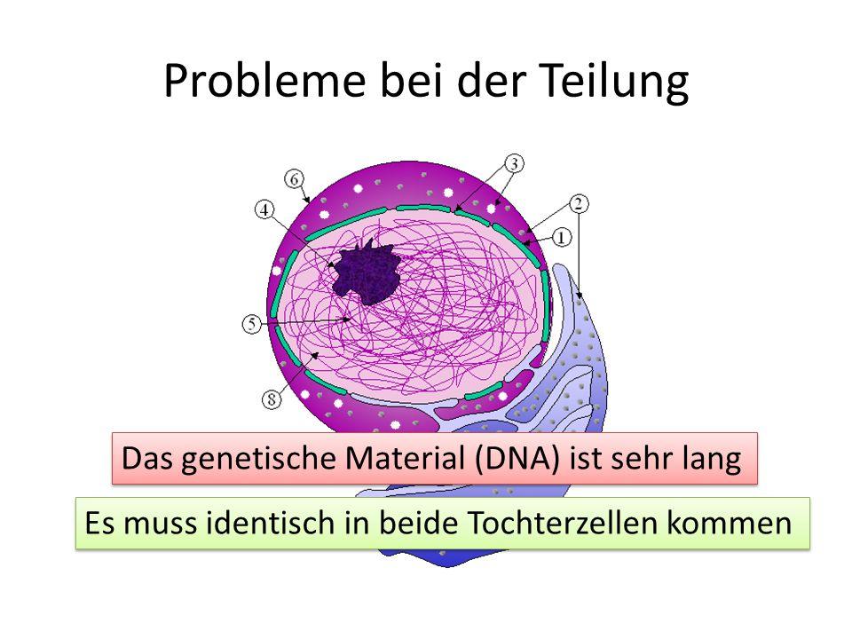 Probleme bei der Teilung Das genetische Material (DNA) ist sehr lang Es muss identisch in beide Tochterzellen kommen