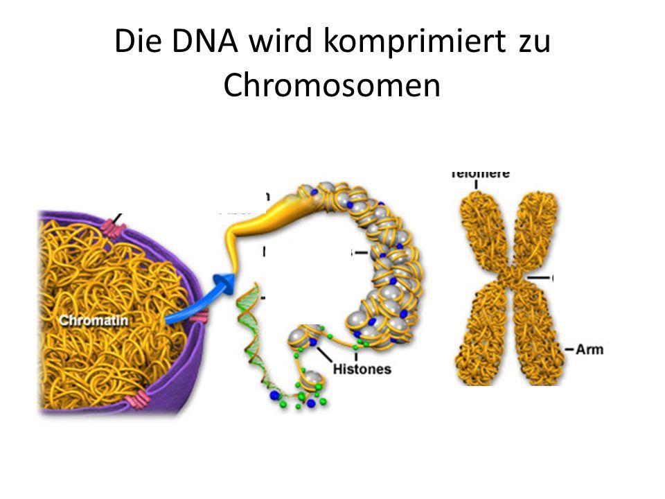 Die DNA wird komprimiert zu Chromosomen