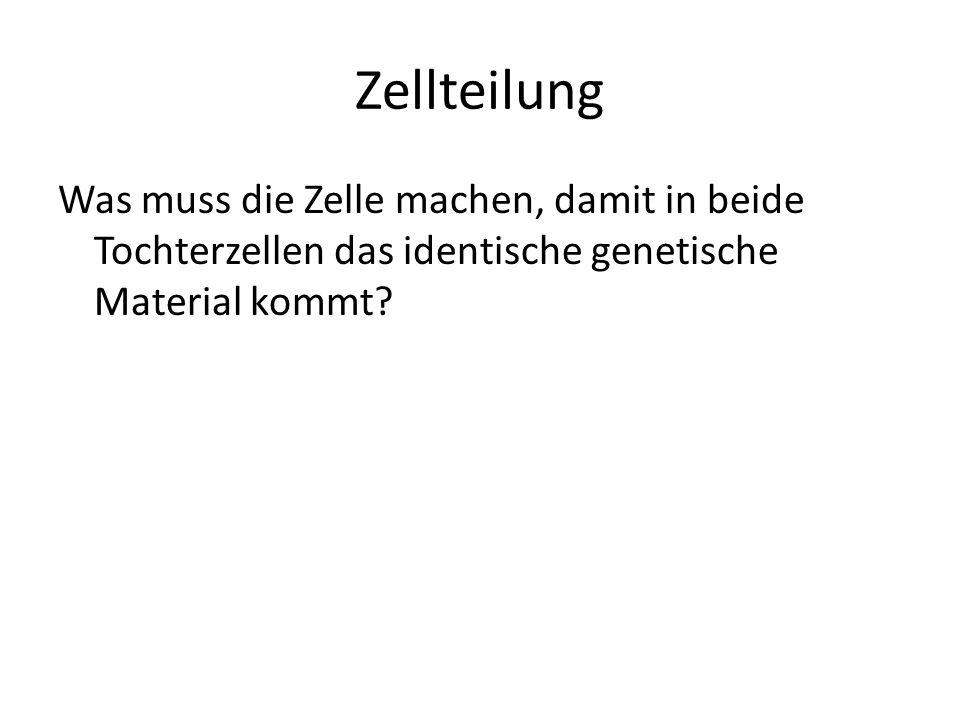 Zellteilung Was muss die Zelle machen, damit in beide Tochterzellen das identische genetische Material kommt?