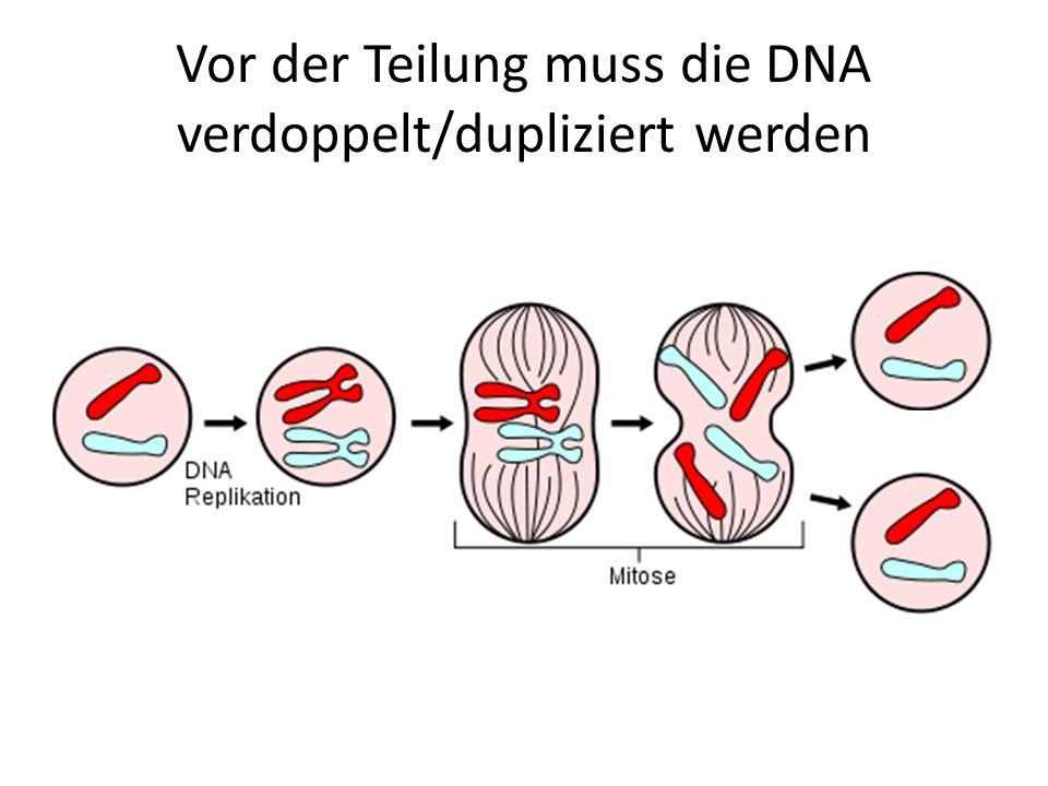 Zellteilung (bitte abschreiben) Zellen können sich teilen So können Lebewesen wachsen Im Zellkern ist die DNA – sie muss identisch in beide Tochterzellen kommen Die DNA muss vor der Teilung verdoppelt werden Die DNA muss vor der Teilung zu Chromosomen komprimiert werden