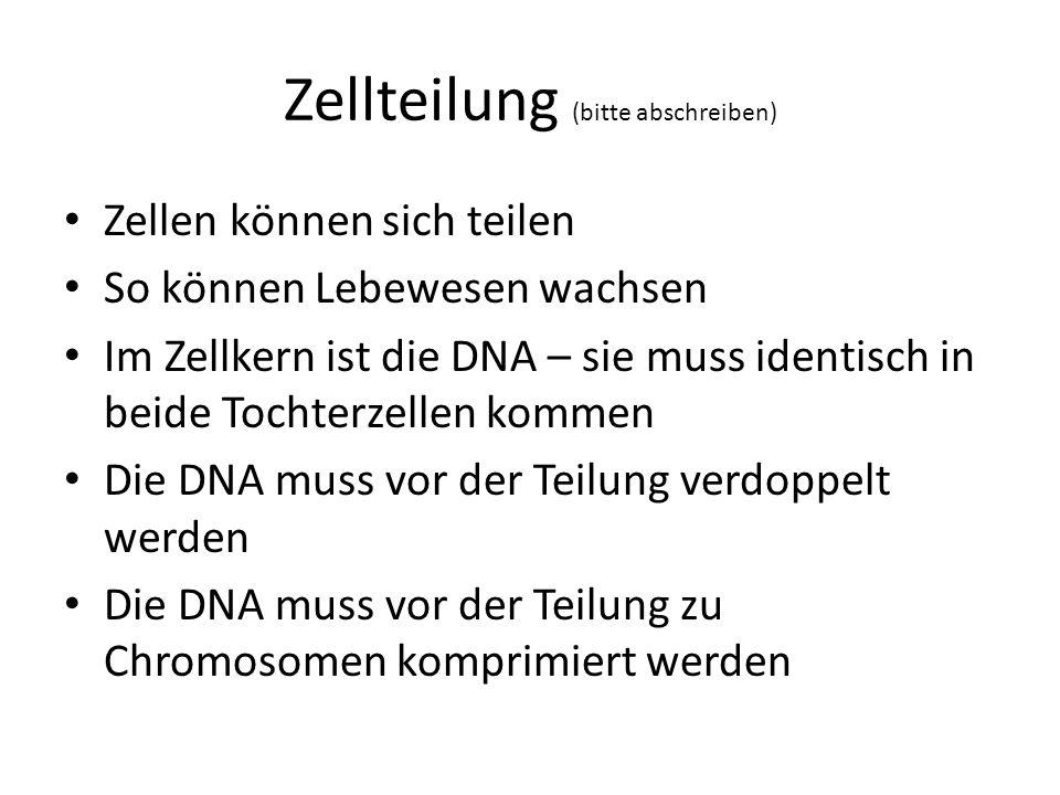 Zellteilung (bitte abschreiben) Zellen können sich teilen So können Lebewesen wachsen Im Zellkern ist die DNA – sie muss identisch in beide Tochterzel