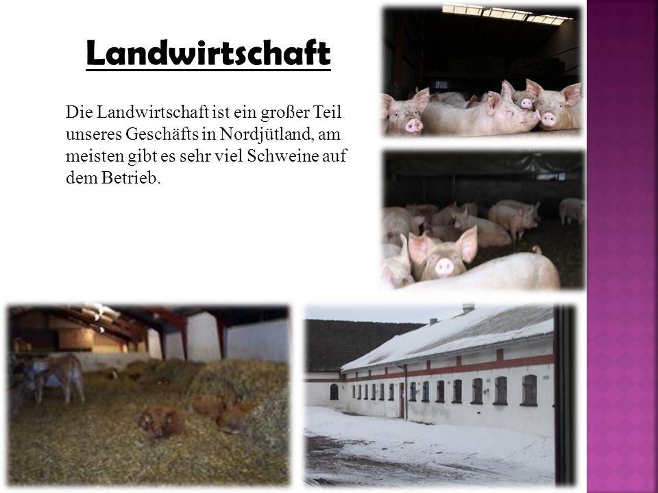 Landwirtschaft Die Landwirtschaft ist ein großer Teil unseres Geschäfts in Nordjütland, am meisten gibt es sehr viel Schweine auf dem Betrieb.