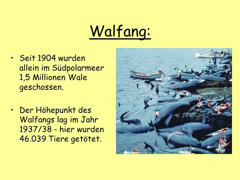 Walfang: Seit 1904 wurden allein im Südpolarmeer 1,5 Millionen Wale geschossen. Der Höhepunkt des Walfangs lag im Jahr 1937/38 - hier wurden 46.039 Ti