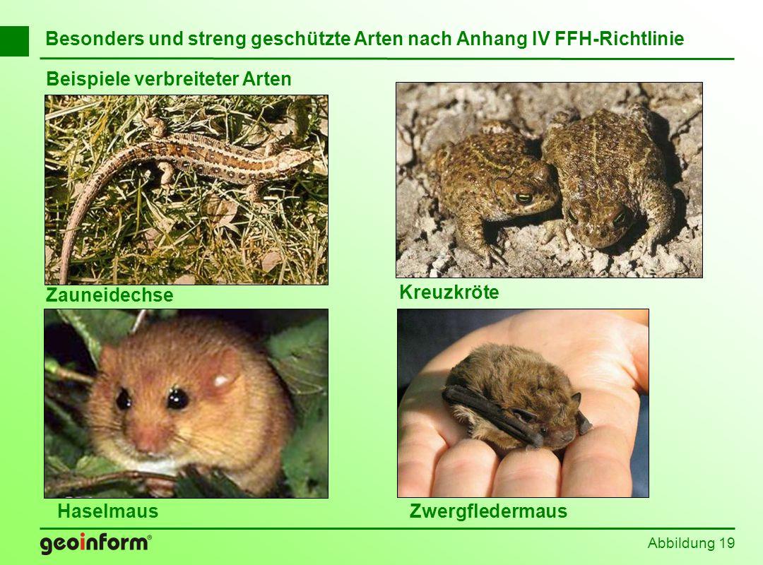 Abbildung 19 Besonders und streng geschützte Arten nach Anhang IV FFH-Richtlinie Beispiele verbreiteter Arten Zauneidechse Haselmaus Kreuzkröte Zwergf
