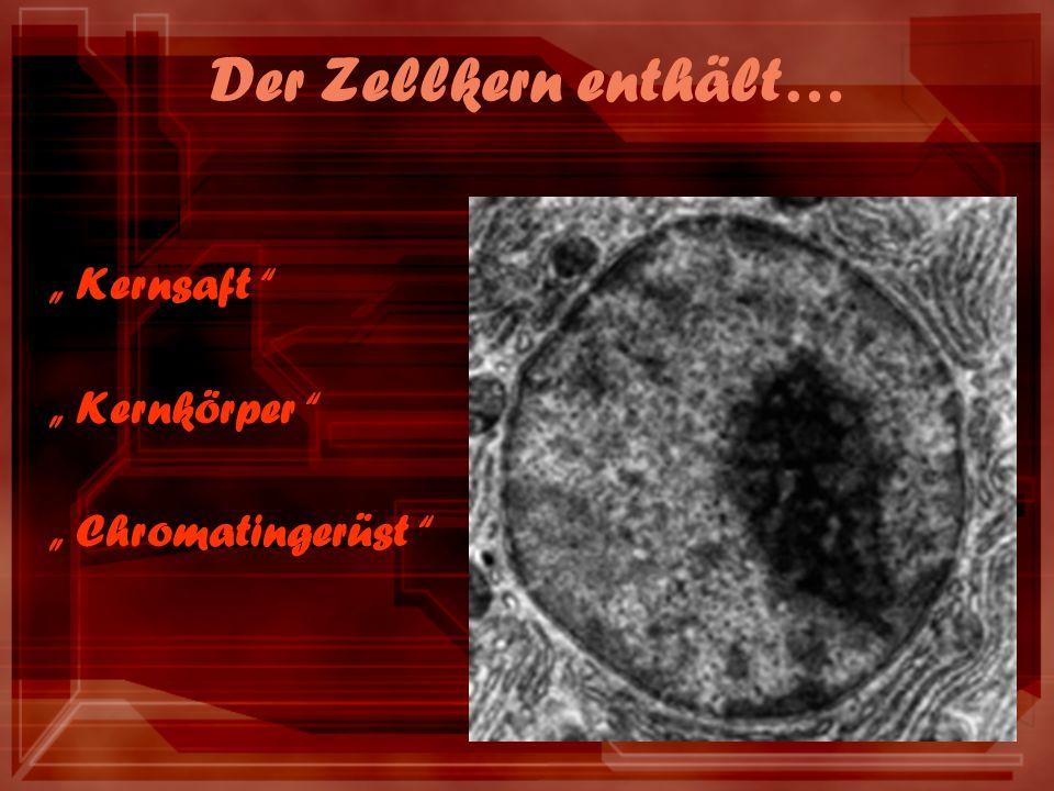 Der Zellkern enthält… Kernsaft Kernkörper Chromatingerüst