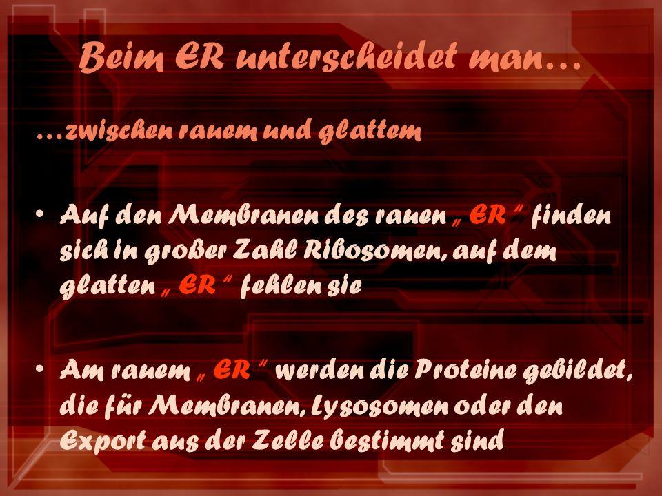 Beim ER unterscheidet man… …zwischen rauem und glattem Auf den Membranen des rauen ER finden sich in großer Zahl Ribosomen, auf dem glatten ER fehlen