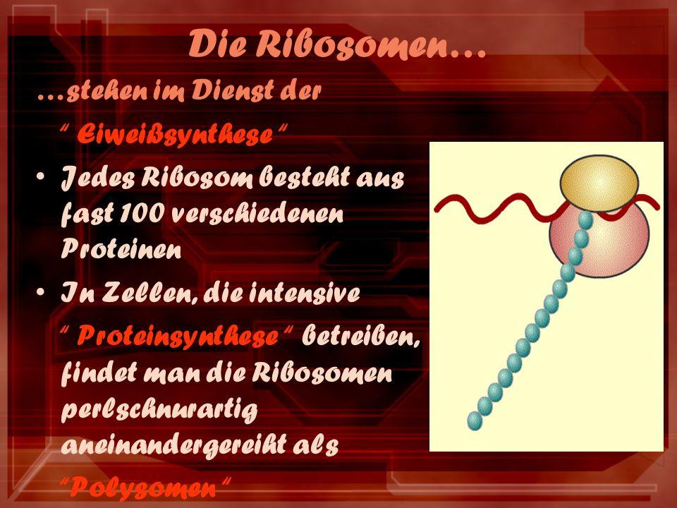 Die Ribosomen… …stehen im Dienst der Eiweißsynthese Jedes Ribosom besteht aus fast 100 verschiedenen Proteinen In Zellen, die intensive Proteinsynthese betreiben, findet man die Ribosomen perlschnurartig aneinandergereiht als Polysomen