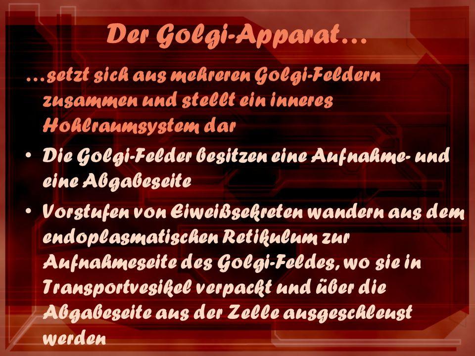 Der Golgi-Apparat… …setzt sich aus mehreren Golgi-Feldern zusammen und stellt ein inneres Hohlraumsystem dar Die Golgi-Felder besitzen eine Aufnahme-