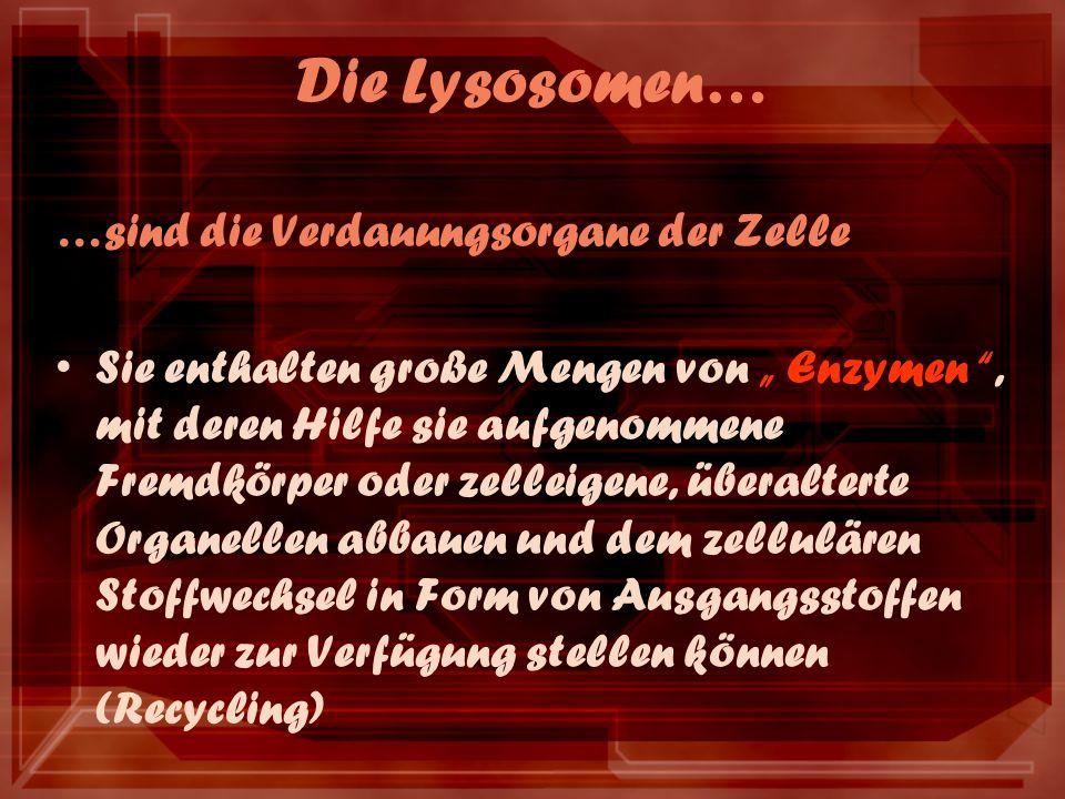 Die Lysosomen… …sind die Verdauungsorgane der Zelle Sie enthalten große Mengen von Enzymen, mit deren Hilfe sie aufgenommene Fremdkörper oder zelleigene, überalterte Organellen abbauen und dem zellulären Stoffwechsel in Form von Ausgangsstoffen wieder zur Verfügung stellen können (Recycling)