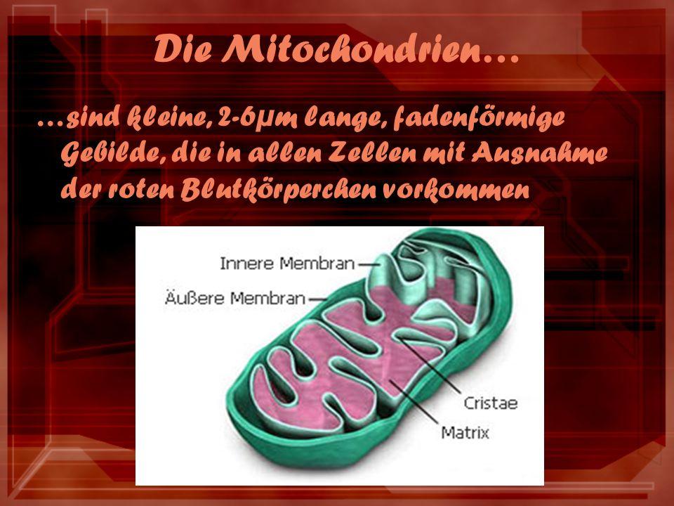 Die Mitochondrien… …sind kleine, 2-6µm lange, fadenförmige Gebilde, die in allen Zellen mit Ausnahme der roten Blutkörperchen vorkommen