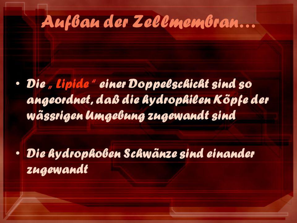 Aufbau der Zellmembran… Die Lipide einer Doppelschicht sind so angeordnet, daß die hydrophilen Köpfe der wässrigen Umgebung zugewandt sind Die hydroph