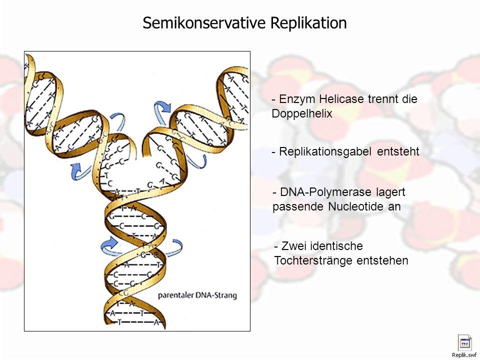 Semikonservative Replikation - Enzym Helicase trennt die Doppelhelix - Replikationsgabel entsteht - DNA-Polymerase lagert passende Nucleotide an - Zwe