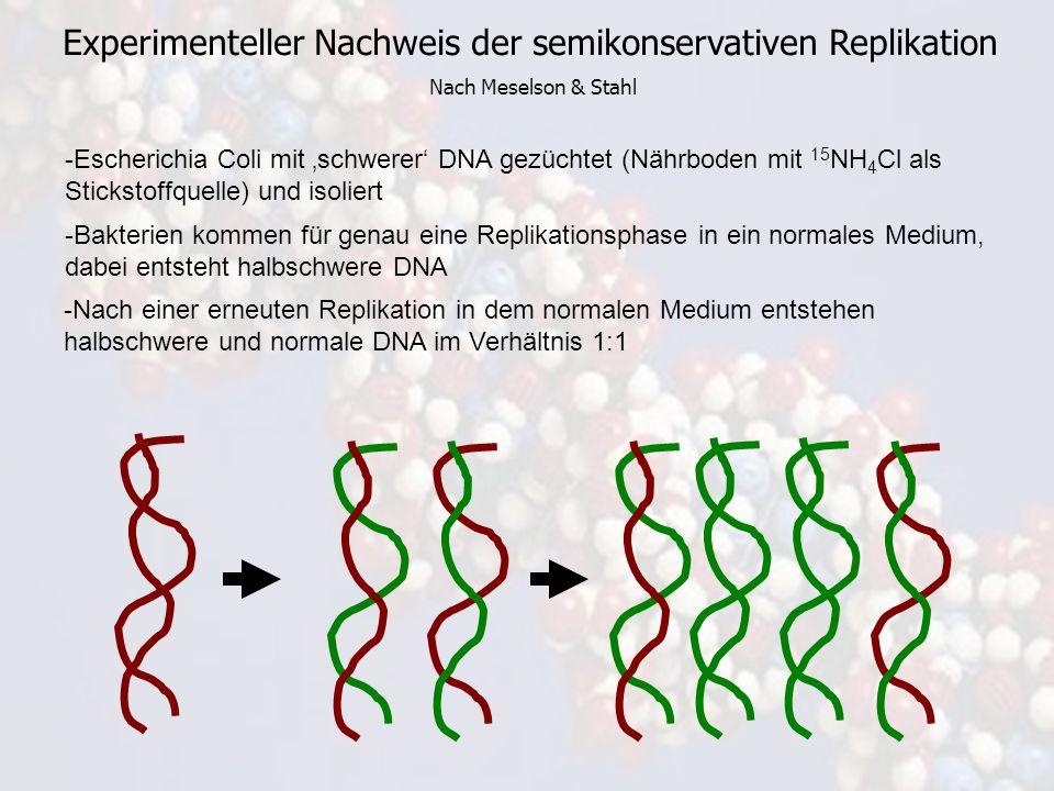 Experimenteller Nachweis der semikonservativen Replikation Nach Meselson & Stahl -Escherichia Coli mit schwerer DNA gezüchtet (Nährboden mit 15 NH 4 C