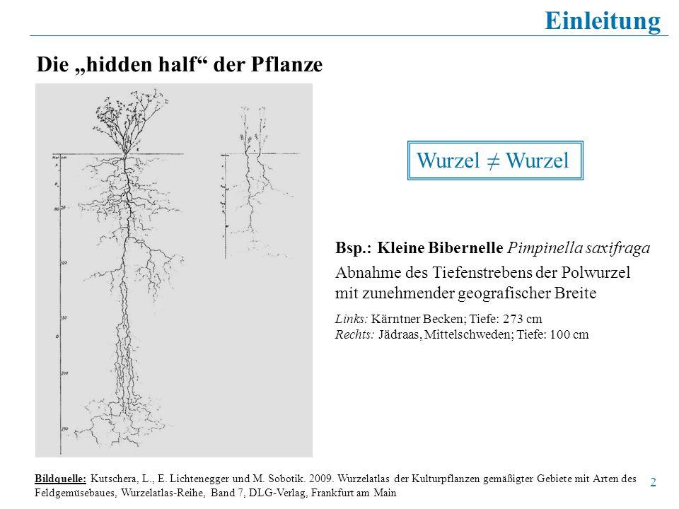 2 Die hidden half der Pflanze Einleitung Wurzel Bsp.: Kleine Bibernelle Pimpinella saxifraga Abnahme des Tiefenstrebens der Polwurzel mit zunehmender