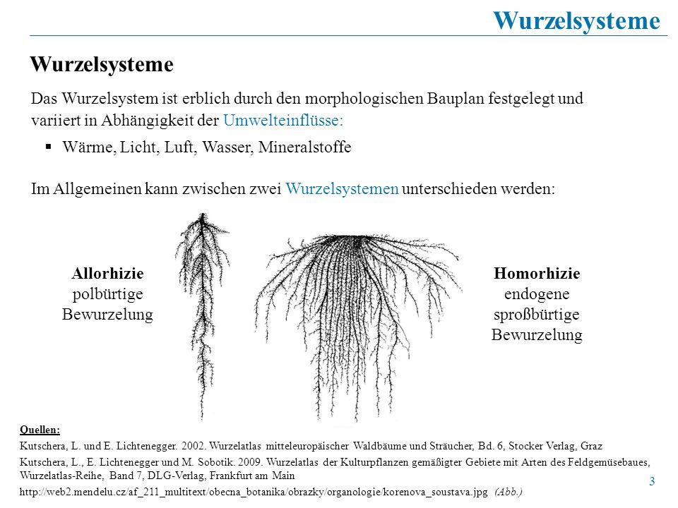 3 Das Wurzelsystem ist erblich durch den morphologischen Bauplan festgelegt und variiert in Abhängigkeit der Umwelteinflüsse: Wärme, Licht, Luft, Wass