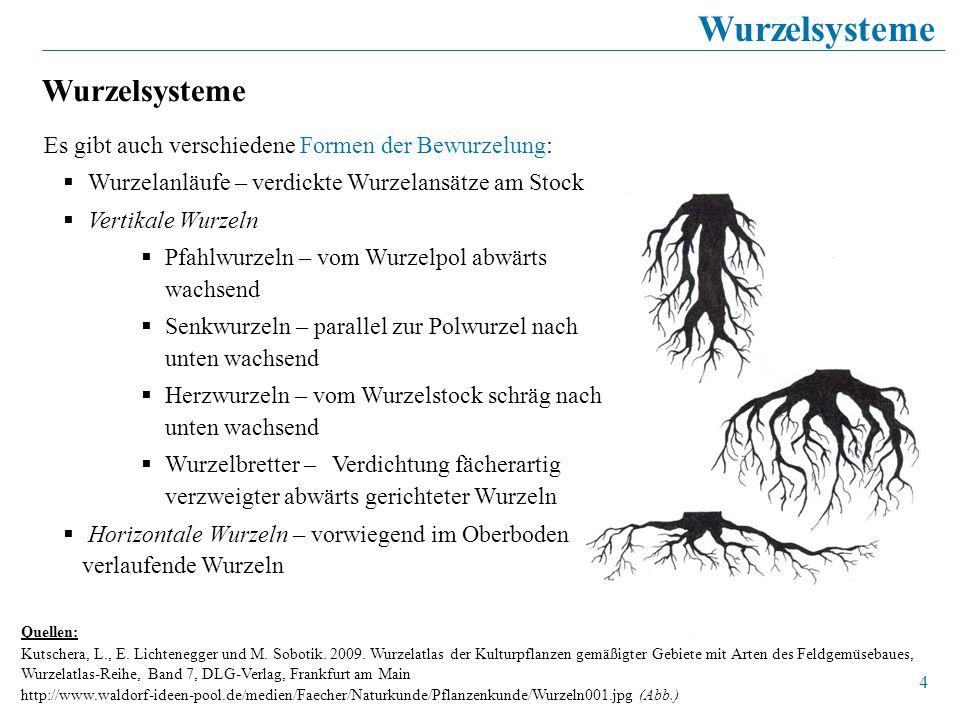 4 Wurzelsysteme Quellen: Kutschera, L., E. Lichtenegger und M. Sobotik. 2009. Wurzelatlas der Kulturpflanzen gemäßigter Gebiete mit Arten des Feldgemü