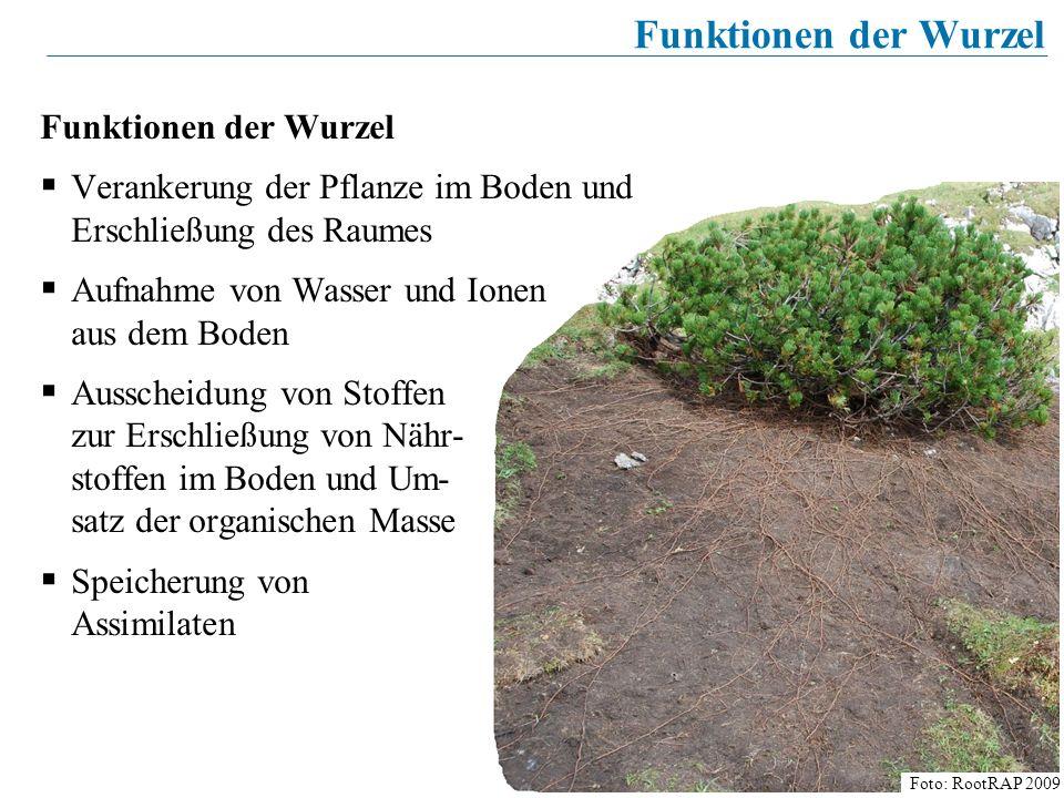 6 Funktionen der Wurzel Verankerung der Pflanze im Boden und Erschließung des Raumes Aufnahme von Wasser und Ionen aus dem Boden Ausscheidung von Stof