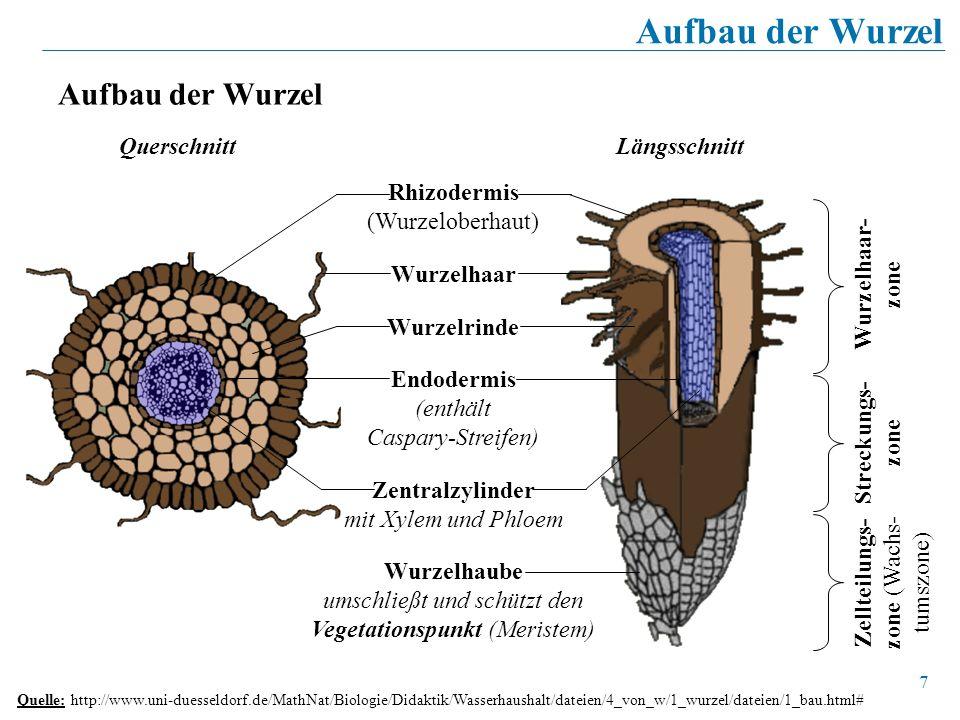 7 Aufbau der Wurzel Quelle: http://www.uni-duesseldorf.de/MathNat/Biologie/Didaktik/Wasserhaushalt/dateien/4_von_w/1_wurzel/dateien/1_bau.html# Rhizod