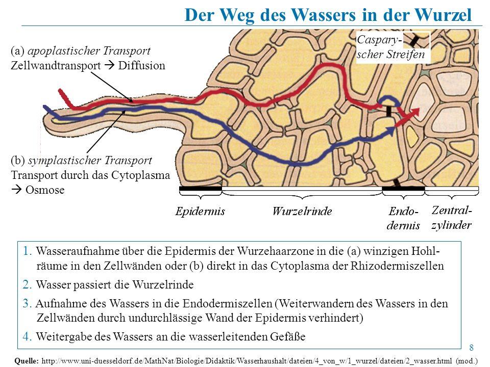 8 Quelle: http://www.uni-duesseldorf.de/MathNat/Biologie/Didaktik/Wasserhaushalt/dateien/4_von_w/1_wurzel/dateien/2_wasser.html (mod.) (b) symplastisc