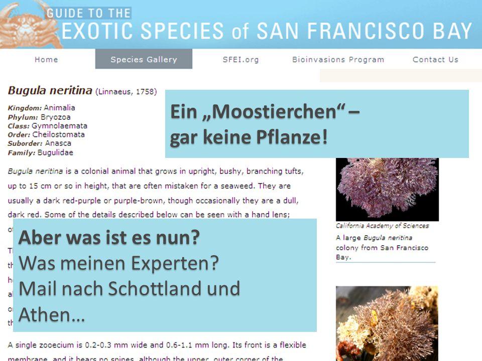 Aber was ist es nun? Was meinen Experten? Mail nach Schottland und Athen… Ein Moostierchen – gar keine Pflanze!