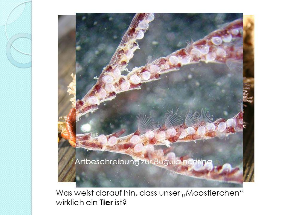 Was weist darauf hin, dass unser Moostierchen wirklich ein Tier ist? Artbeschreibung zur Bugula neritina