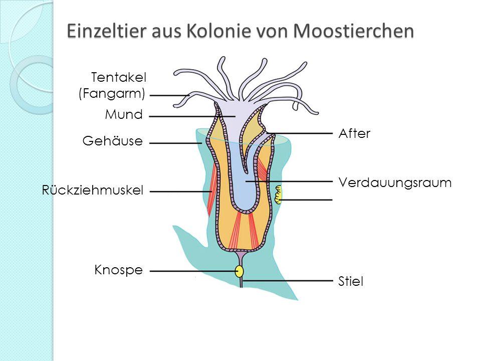 Einzeltier aus Kolonie von Moostierchen Tentakel (Fangarm) Mund Rückziehmuskel Gehäuse After Verdauungsraum Stiel Knospe