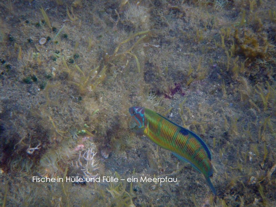 Fische in Hülle und Fülle – ein Meerpfau