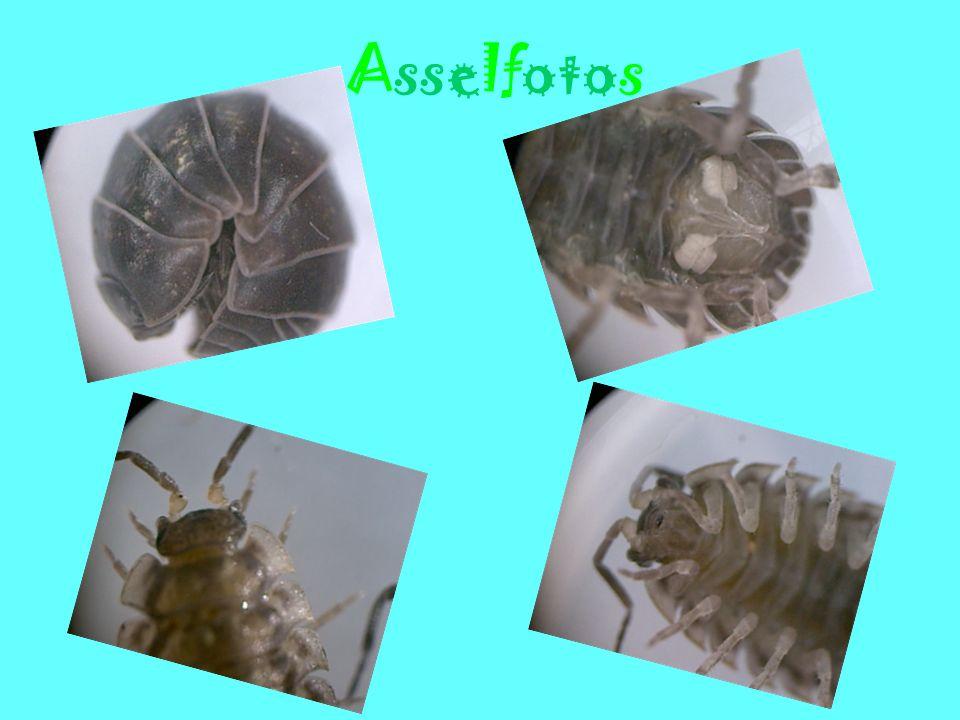 Steckbrief Rollassel Die Rollassel Name: Rollassel Ordnung: Isopoda Familie: Armadillidiidae Kennzeichen: Hellbraune bis schwarze Asseln mit gelben Flecken, haben einen aufgewölbten Körper und einen gerundeten Hinterrand.
