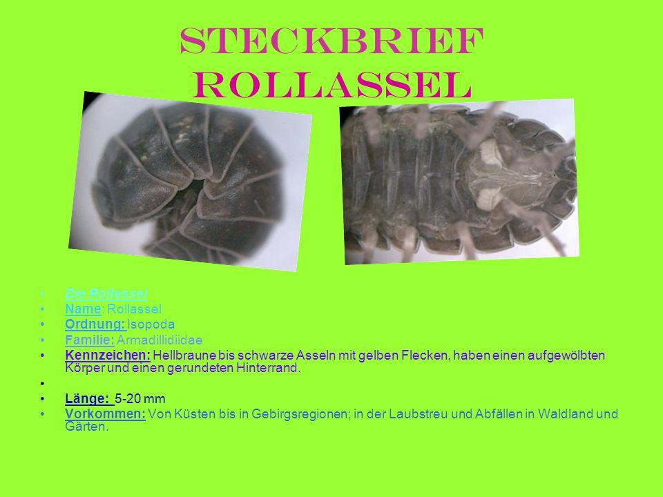 Steckbrief Rollassel Die Rollassel Name: Rollassel Ordnung: Isopoda Familie: Armadillidiidae Kennzeichen: Hellbraune bis schwarze Asseln mit gelben Fl