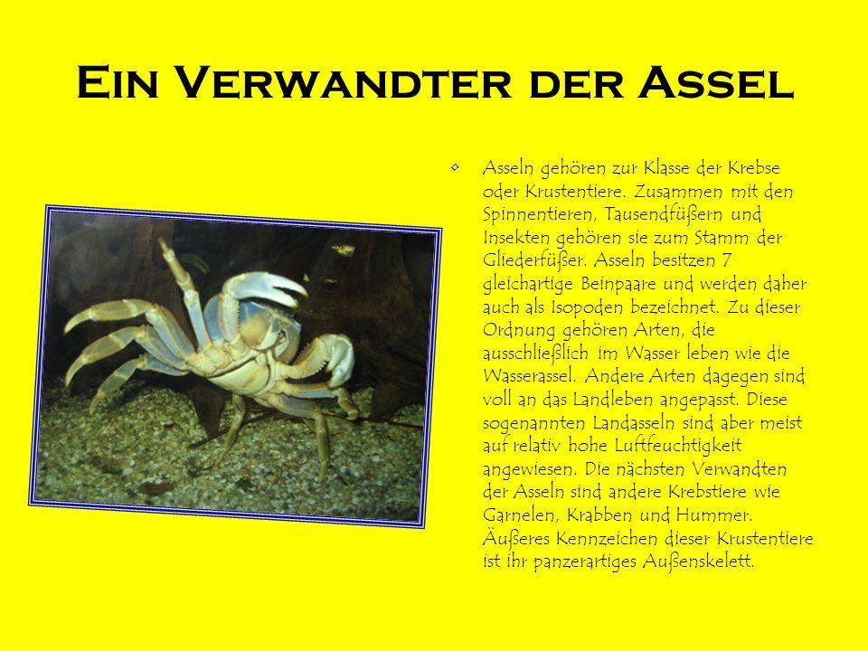 Ein Verwandter der Assel Asseln gehören zur Klasse der Krebse oder Krustentiere. Zusammen mit den Spinnentieren, Tausendfüßern und Insekten gehören si