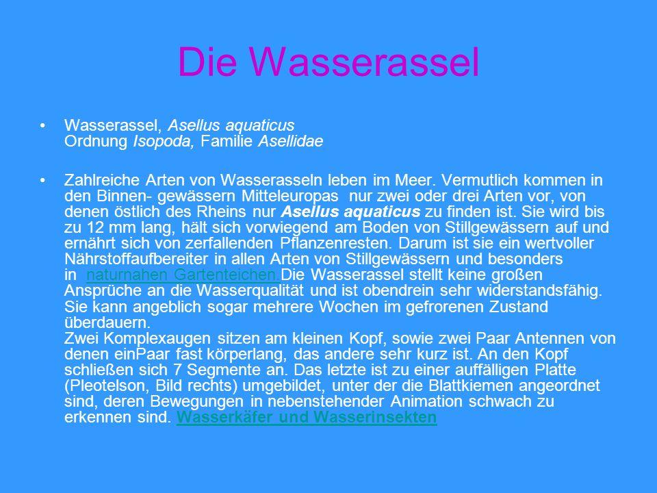 Die Wasserassel Wasserassel, Asellus aquaticus Ordnung Isopoda, Familie Asellidae Zahlreiche Arten von Wasserasseln leben im Meer. Vermutlich kommen i