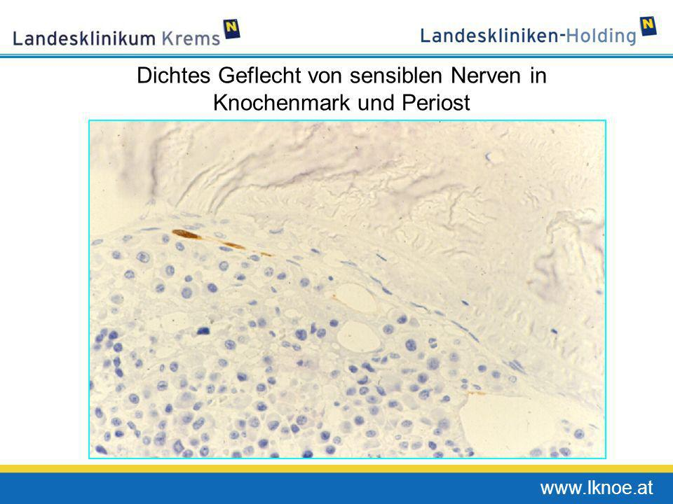 www.lknoe.at Dichtes Geflecht von sensiblen Nerven in Knochenmark und Periost