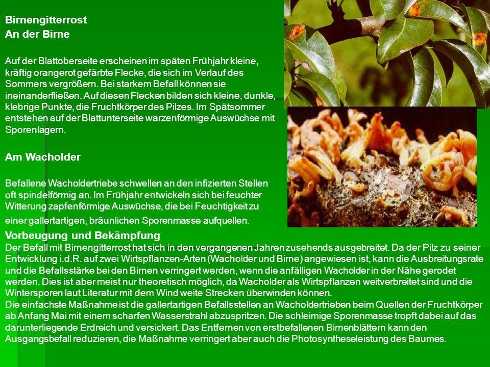 Birnengitterrost An der Birne Auf der Blattoberseite erscheinen im späten Frühjahr kleine, kräftig orangerot gefärbte Flecke, die sich im Verlauf des