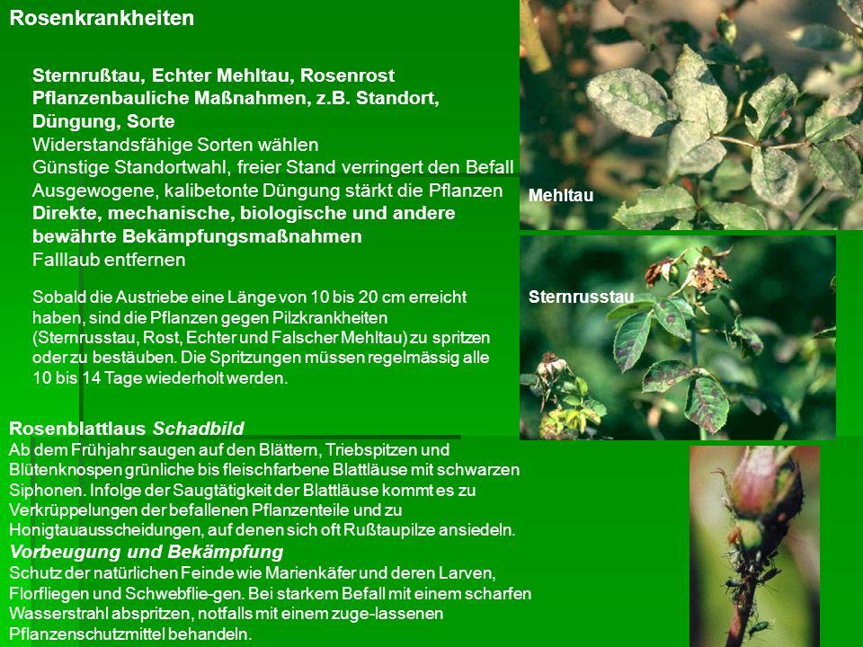 Sternrußtau, Echter Mehltau, Rosenrost Pflanzenbauliche Maßnahmen, z.B. Standort, Düngung, Sorte Widerstandsfähige Sorten wählen Günstige Standortwahl