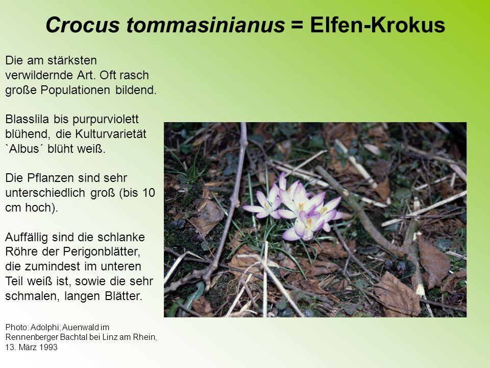 Crocus tommasinianus = Elfen-Krokus Ein weiterer Standort des Elfen- Krokusses: eine ortsfern gelegene Wiese, die auch als Viehweide genutzt wird.