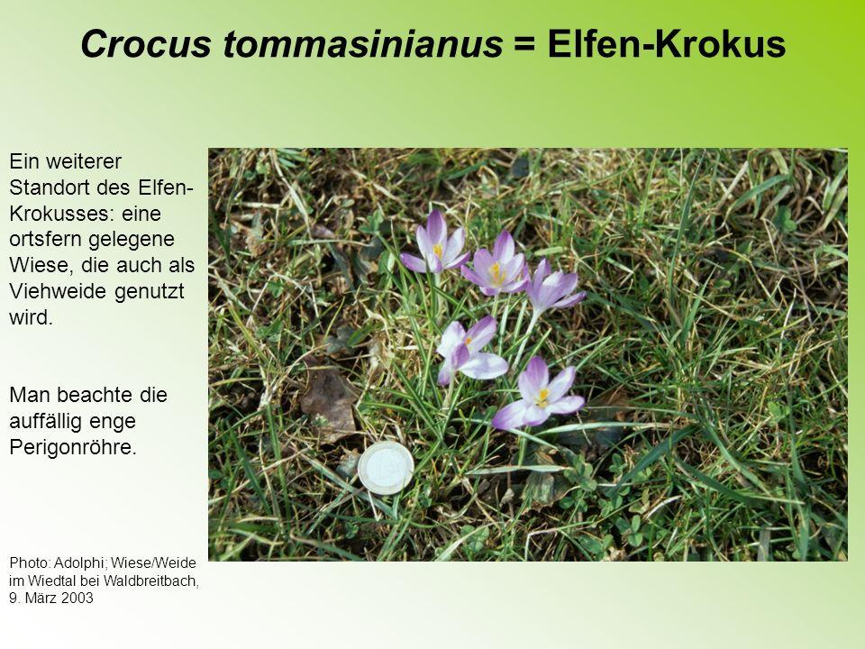 Crocus vernus sensu amplo = Frühlings-Krokus Die am häufigsten kultivierte Art.