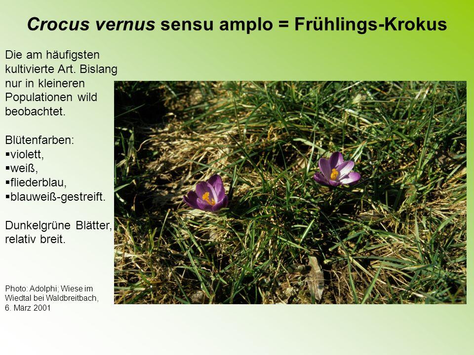 Crocus chrysanthus = Goldblütiger Krokus Häufig kultiviert.