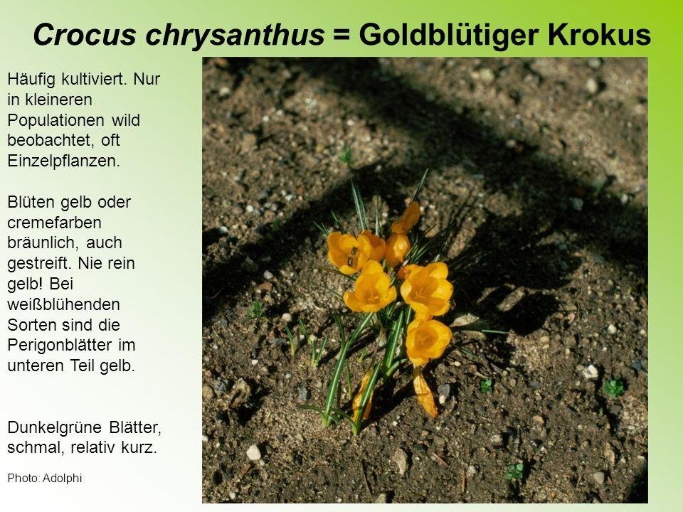 Crocus sieberi = Siebers Krokus Neuerdings häufig kultiviert.