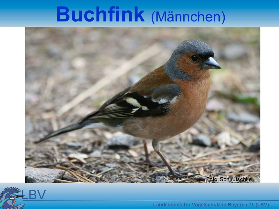 Foto: Schirutschke Buchfink (Männchen)