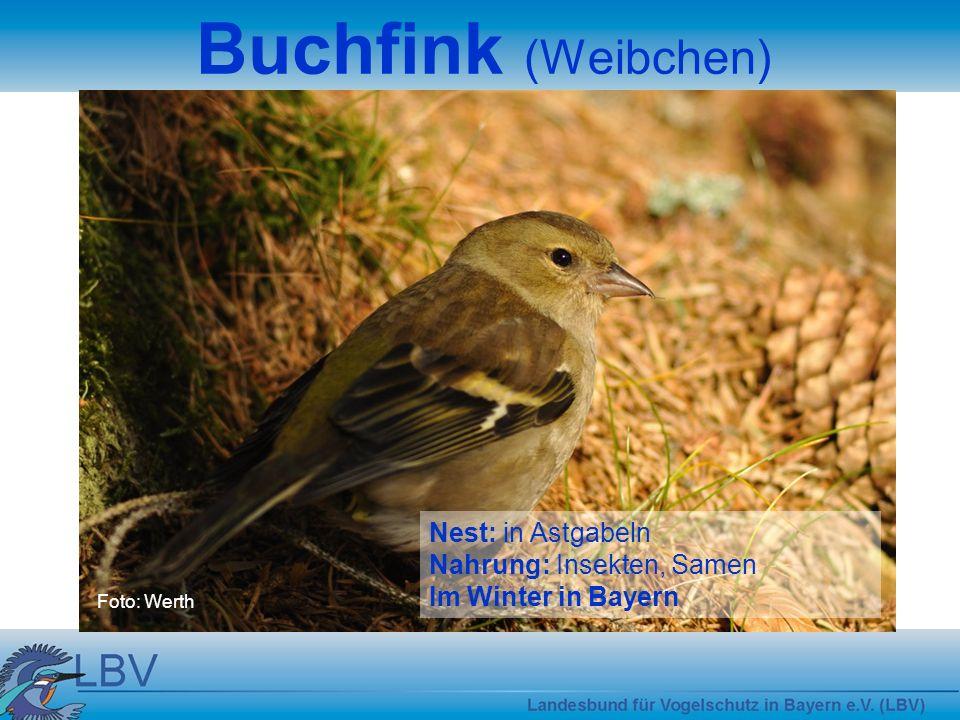 Foto: Werth Buchfink (Weibchen) Nest: in Astgabeln Nahrung: Insekten, Samen Im Winter in Bayern