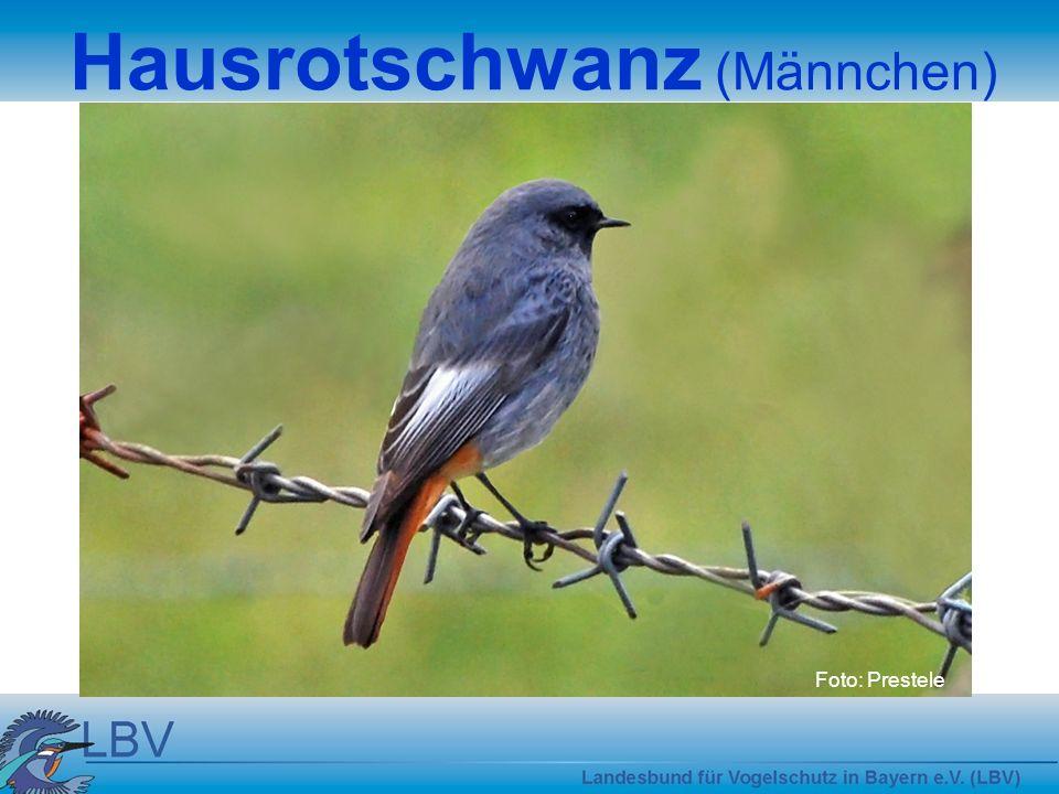 Foto: Prestele Hausrotschwanz (Männchen)
