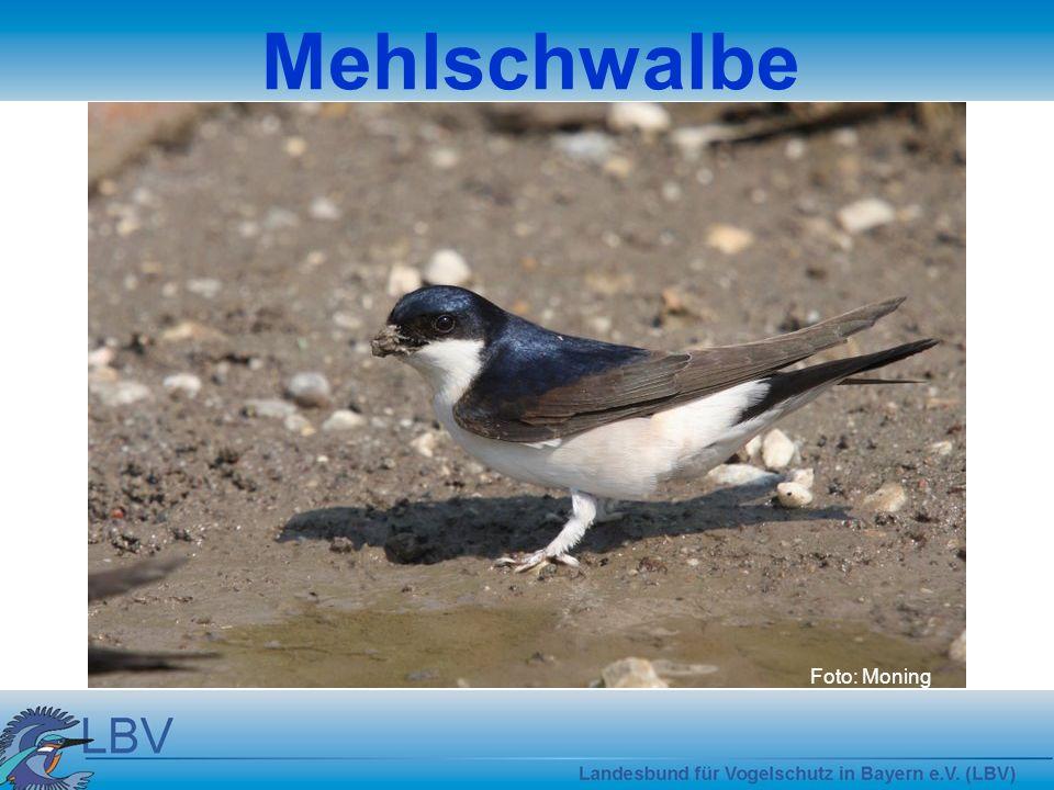 Foto: Moning Mehlschwalbe