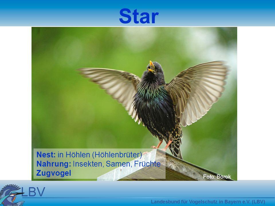 Star Foto: Borok Nest: in Höhlen (Höhlenbrüter) Nahrung: Insekten, Samen, Früchte Zugvogel