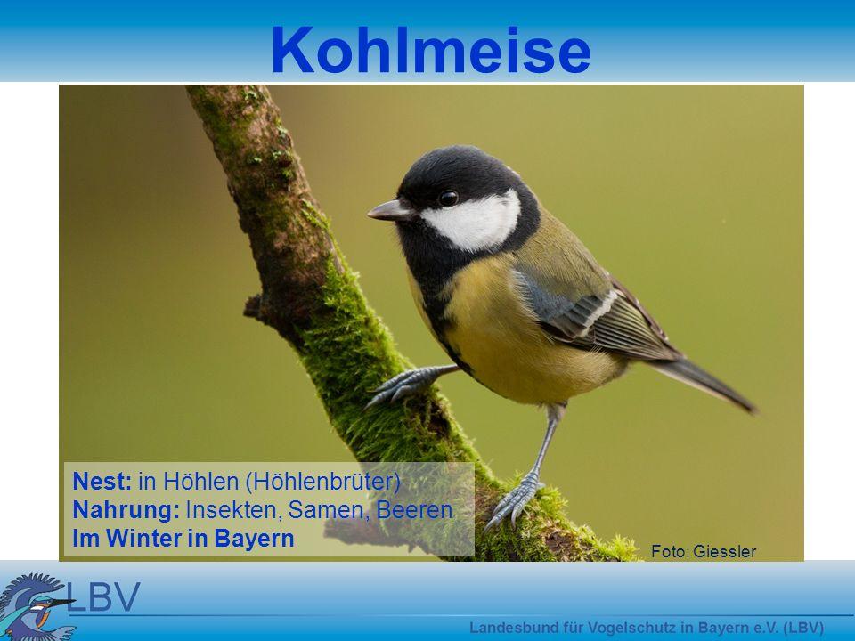 Foto: Giessler Kohlmeise Nest: in Höhlen (Höhlenbrüter) Nahrung: Insekten, Samen, Beeren Im Winter in Bayern