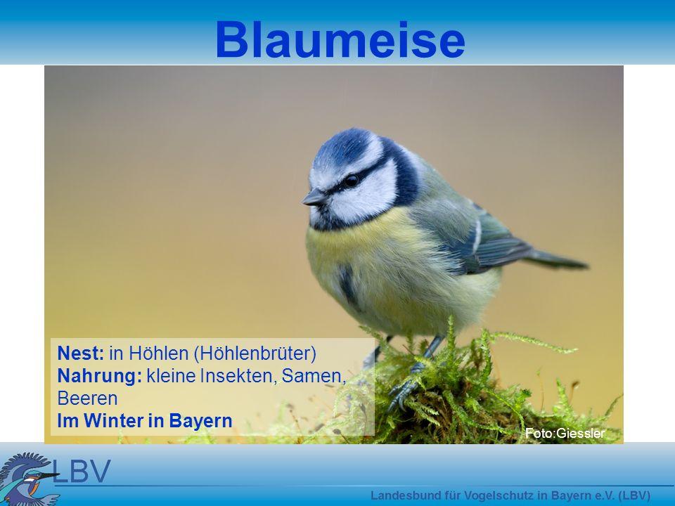 Foto:Giessler Blaumeise Nest: in Höhlen (Höhlenbrüter) Nahrung: kleine Insekten, Samen, Beeren Im Winter in Bayern