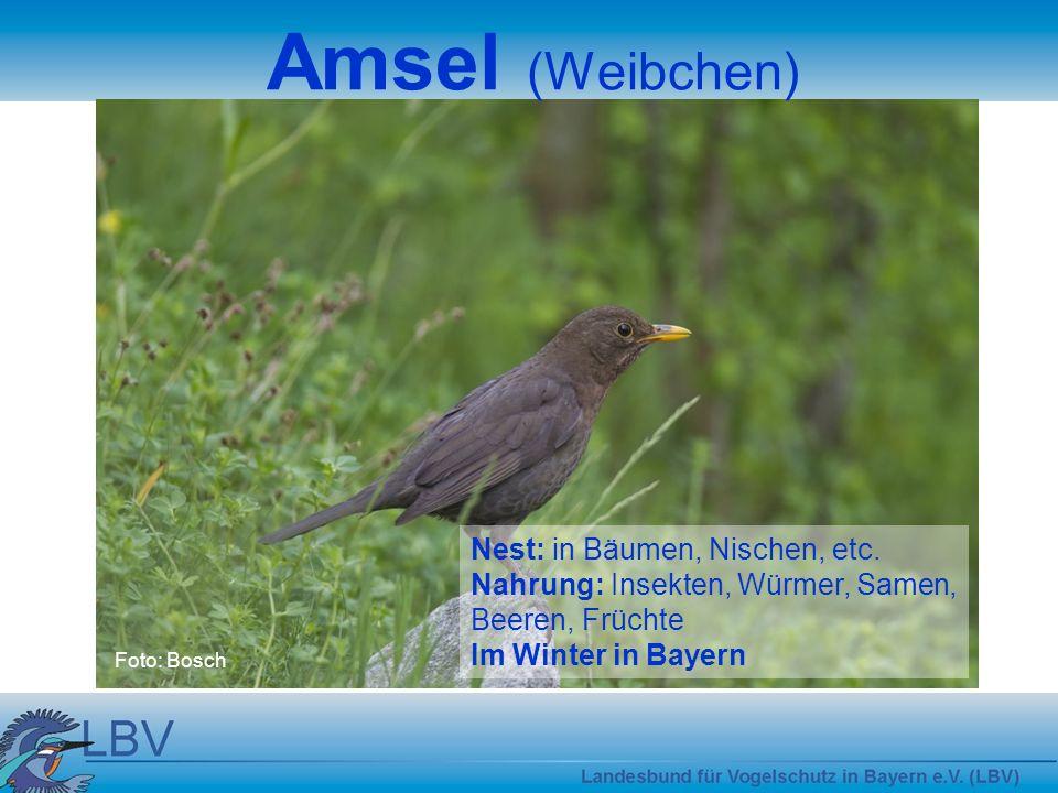 Foto: Bosch Amsel (Weibchen) Nest: in Bäumen, Nischen, etc.