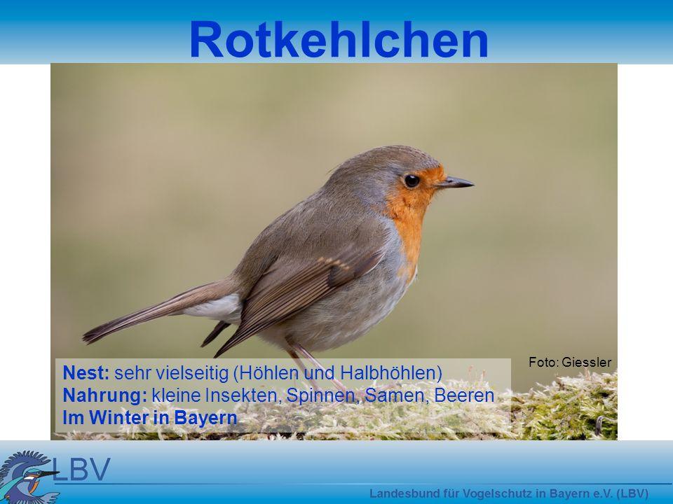 Foto: Giessler Grünfink Nest: in Bäumen und Hecken Nahrung: Samen, Hagebutten Im Winter in Bayern